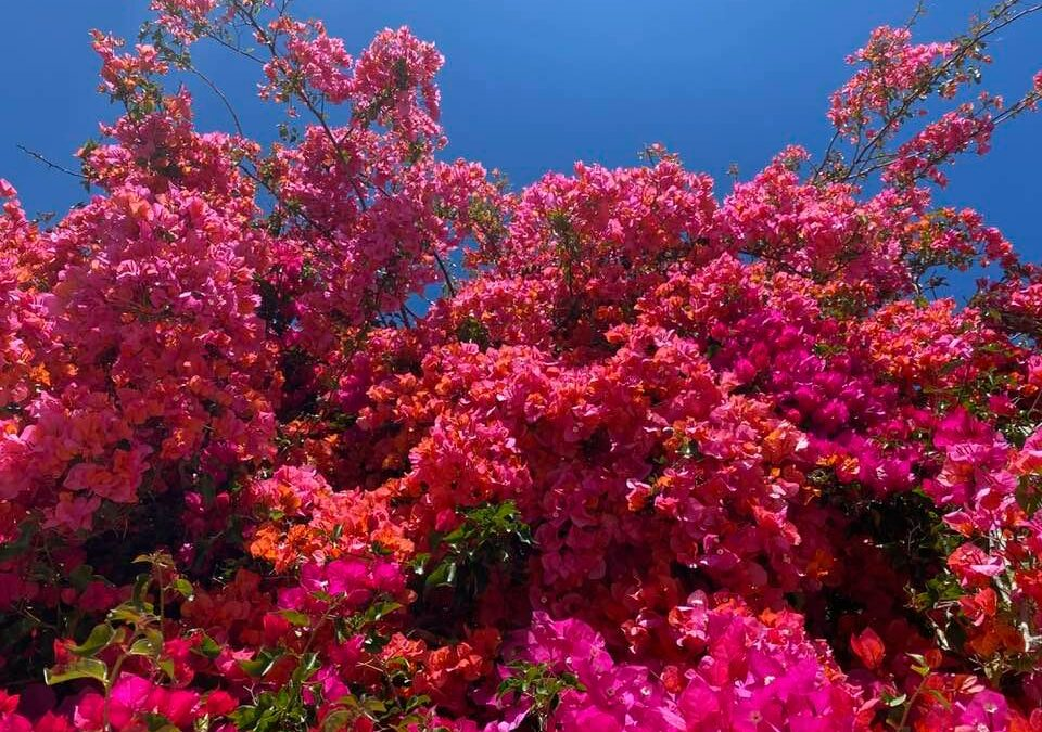 Bougainvillea and Blue Skies