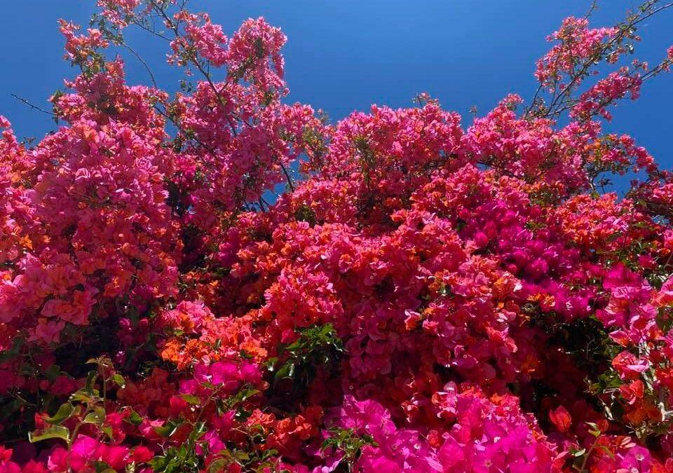 Bougainvillea & Blue Skies